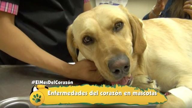 Aprende sobre las enfermedades cardíacas en tu mascota
